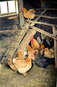 Chickens and Culling