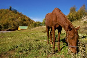 Feeding Horses for Weight Gain