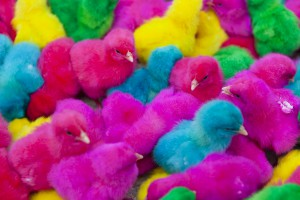 color chicks