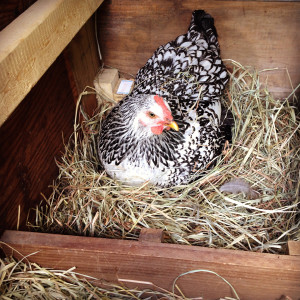 Chickens Lay Eggs