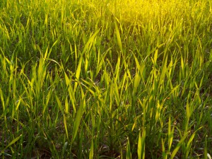 marshall ryegrass seed