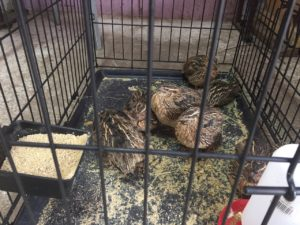 Live Quail for sale in dallas